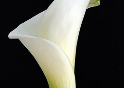Calla Lily by Norma Keith