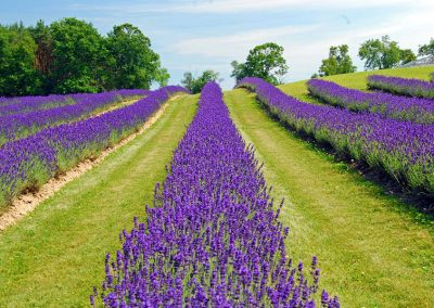 Laveanne Lavende Fields by Norma Keith