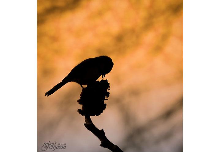 Chickadee on Sumac by Robert Ferguson