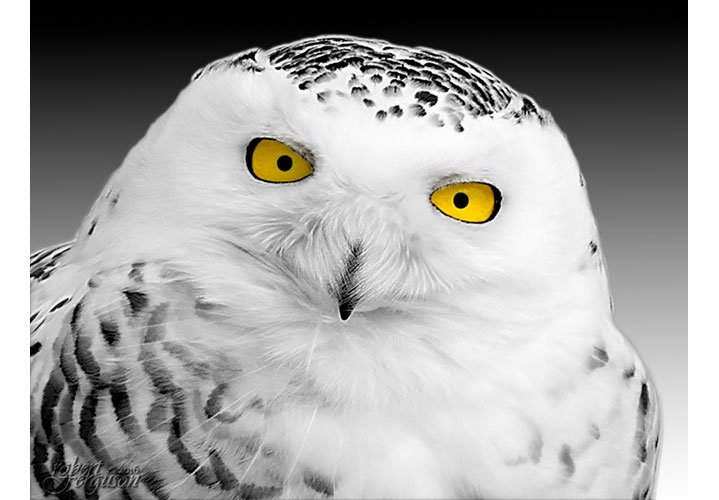 Snowy Owl Portrait by Robert Ferguson