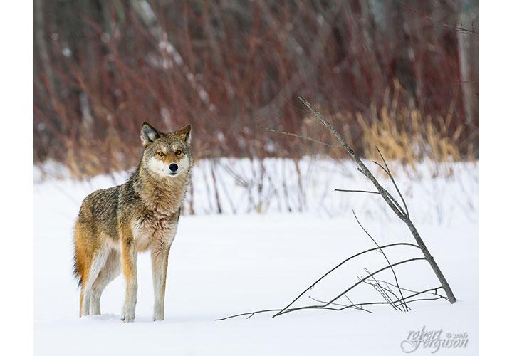 Solitary Hunter by Robert Ferguson