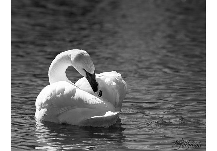Trumpeter Swan by Robert Ferguson