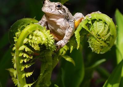 Spring Peeper by Jennifer Gibson