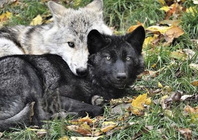 Wolf Siblings by Norma Keith