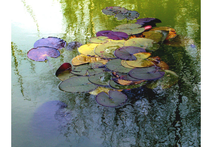 Waterlily Leaves by Mary Weilandt