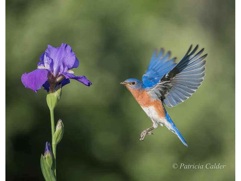 Bluebird, Stirling, ON © Patricia Calder