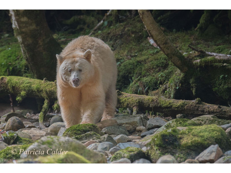 Spirit Bear, BC © Patricia Calder