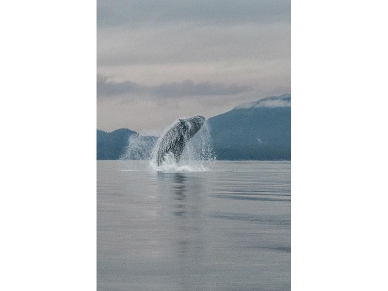 Humpback Whale, BC © Patricia Calder