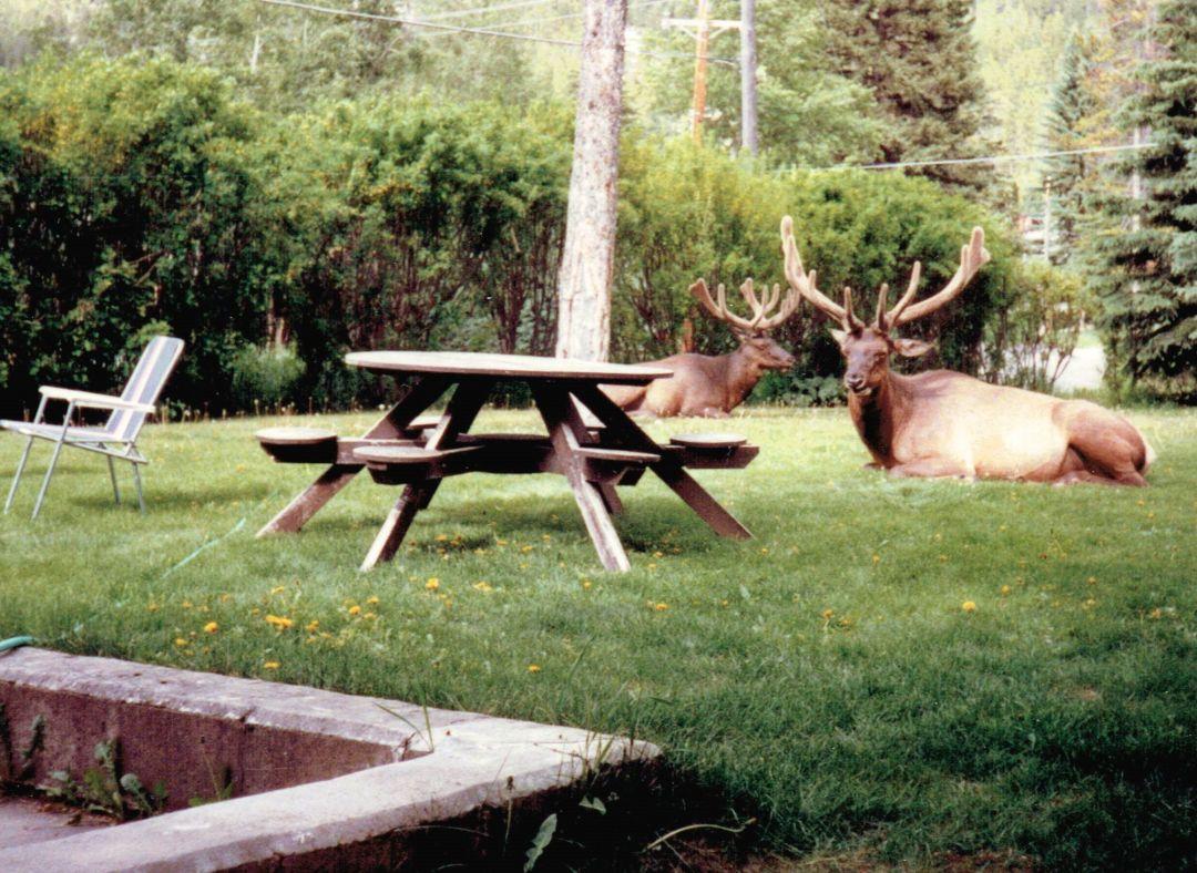 Elk at Picnic Table Photo by Marie-Lynn Hammond