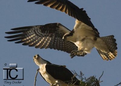 Osprey Pair in Spring by Tony Crocker