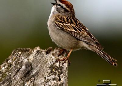 Chipping Sparrow by Tony Crocker