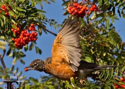 American Robin in Mountain Ash Tree by Tony Crocker